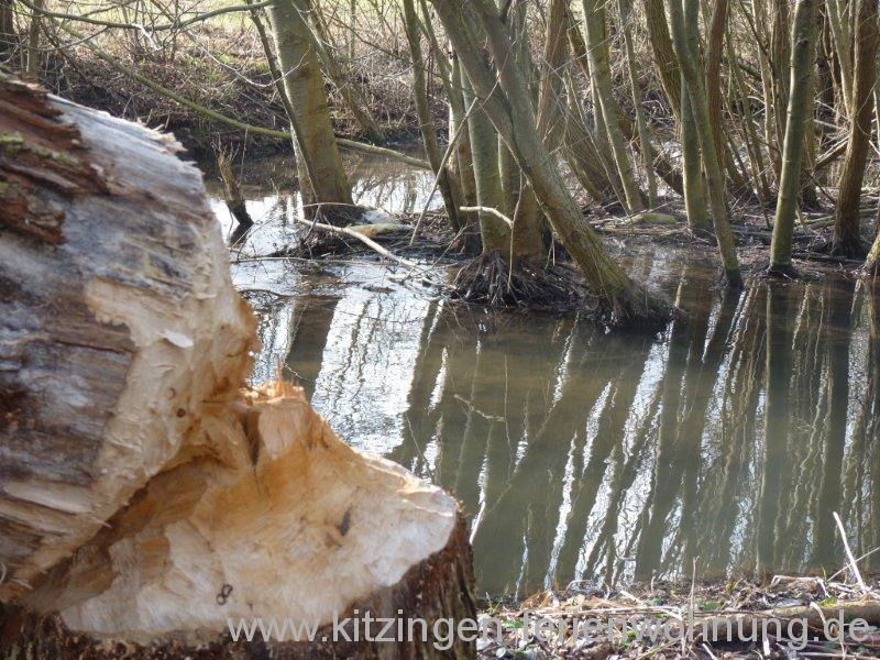 Biber Kitzingen (20).jpg