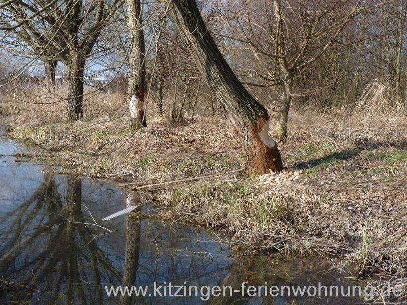 Biber Kitzingen (8).jpg